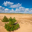 Small pine tree in a sand desert — Stock Photo