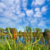 Closeup cattail on a river — Stock Photo