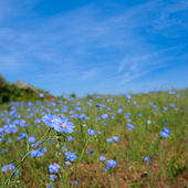 Beautiful summer field with blue flowers — Stock Photo