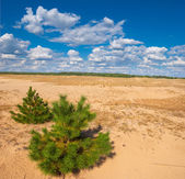 Small pine tree in a sand desert — Stockfoto