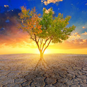 Alone tree in a dry cracked earth at the sunset — Stock Photo