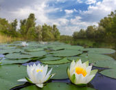 White lilies on a lake — Stock Photo
