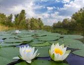 White lilies on a lake — Stock Photo