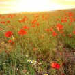 Red poppy field at the early morning — Foto Stock