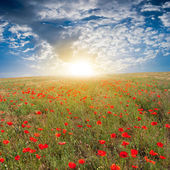 Red poppy field ar the sunrise — Stock Photo