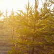 Pine tree forest in a rays of sun — Foto de Stock