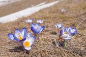 Schöne violett crocus — Stockfoto
