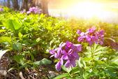 Flores violeta em um raios de sol — Fotografia Stock
