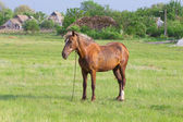коричневые лошади на пастбище — Стоковое фото