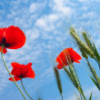 Closeup red poppy - Stock Photo
