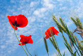 Closeup red poppy — Stock Photo