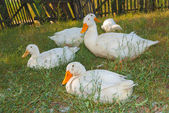 White ducks sit on a grass — Stock Photo
