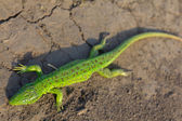 Green lizard on a ground — Stock Photo