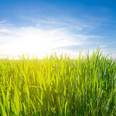 Green field in a rays of sun — Foto de Stock