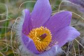 Tatlı güzel menekşe çiçek — Stok fotoğraf
