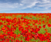 Beautiful red poppys — Stock Photo