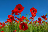 Rode papaver bloemen — Stockfoto