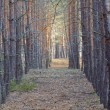 Stock Photo: Slender pine tree forest