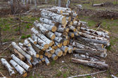 Heap of birch logs in a forest — Stock Photo