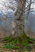 Beech tree in a misty forest — Stock Photo