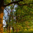 Stock Photo: Oak grove
