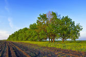 Green oak grove — Stock Photo