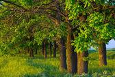 Beautiful oak grove — Stock Photo