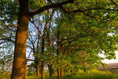 Oak grove — Stock Photo