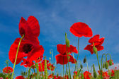 Red poppies on a blue sky background — Stock Photo