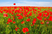 Red poppy field landscape — Stock Photo