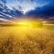 Wheat field at the sunset — Stock Photo