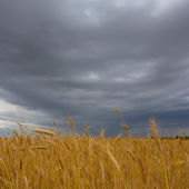 Wheat field under a dense clouds — Stock Photo