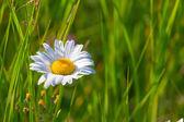 White camomile in a grass — Stock Photo