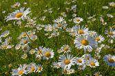 Tatlı beyaz camomiles — Stok fotoğraf