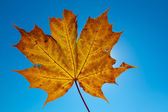 Dry maple leaf on a blue sky background — Stock Photo