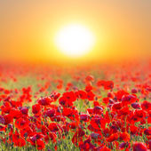 Red poppy field at the sunrise — Stock Photo