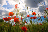 Red poppies scene — Stock Photo