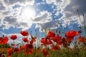 Red poppies in a rays of sun — Stock Photo