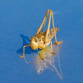 Grasshopper on a blue background — Stock Photo