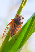 Red cicada on a leaf — Stock Photo