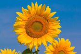Closeup sunflowers on a blue sky background — Stock Photo