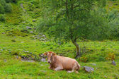 Brown cow on a green pasture — Stock Photo