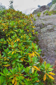 Closeup green rhododendron bush — Stock Photo