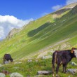 Brown cows on a mountain pasture — Stock Photo