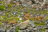 Rebanho de cabras da montanha — Fotografia Stock