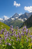 Closeup violet flowers in a mountain valley — Stock Photo