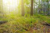 Forest in a days of sun — Stock Photo