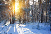 Winter forest by a sunny day — Stock fotografie