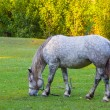 Stock Photo: White horse on a pasture