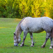 White horse on a pasture — Stock Photo #33525095